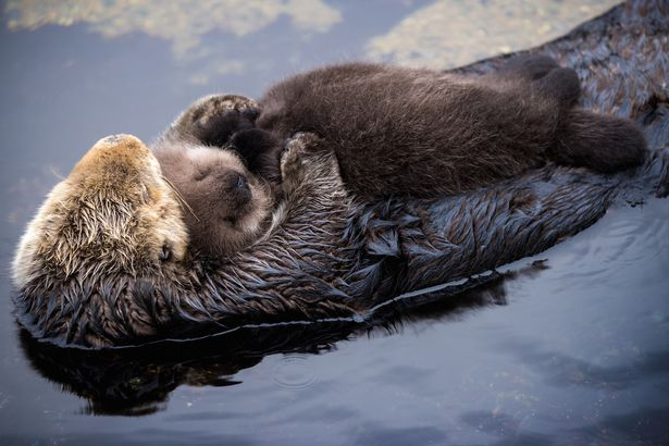 PAY-Baby-Sea-Otter